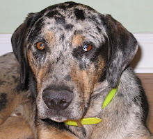 Rocky - Catahoula Leopard Dog