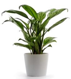 Attractive House Plants 2015 Low Light House Plants