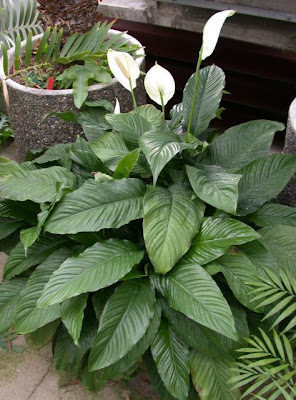 Attractive house plants 2015 common house plants - Most popular house plants ...