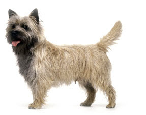 List Of Terrier Breeds