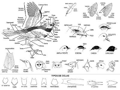 Dibujos de Darío Izurieta para la Guía para la identificación de las aves de Argentina y Uruguay, de Tito Narosky