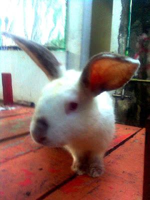 jual kelinci