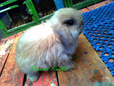 rabbit lop tortoise