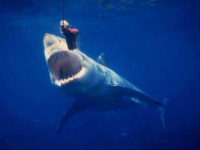 great white shark blueback