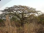 Árvore enorme