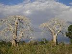 Árvores de prata
