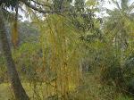 Lindos Bambus