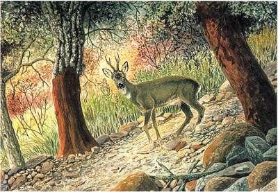 ciervo en b.mediterraneo