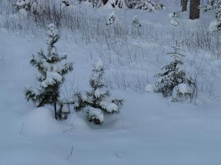 Маленькие деревья в снегу
