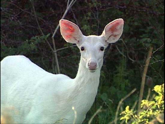 nature white whitetail deer