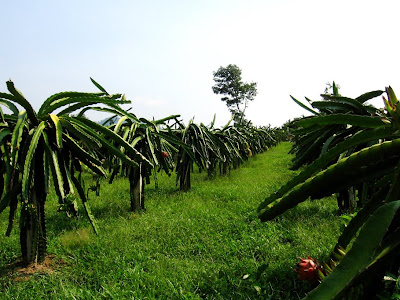 Dragon Fruits Farm