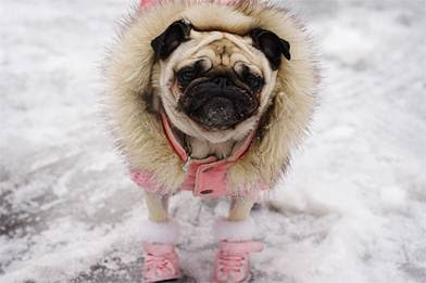 pug wearing jacket