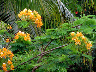 yellow flame tree Delonix regia