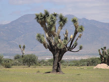 A Joshua Tree