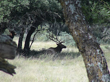 A Resting Elk