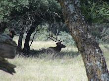 A Resting Elk