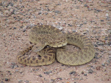 That's MR Bull Snake...