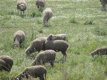 Sheep & Ibis
