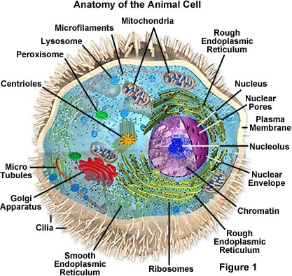 Animal Cell Diagram. Diagram of an animal cell
