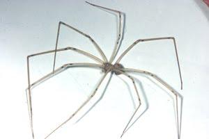 blush spider or daddy longlegs?