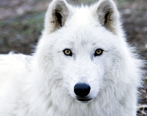 Arctic Wolf wolves