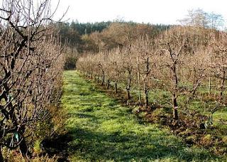 Oz Farm espaliered apples winter