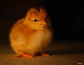 Chicks ά 365