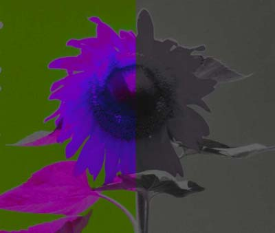 Sunflower Halved Hypersaturated