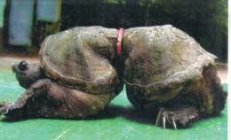 external image sea-turtle-deformed_1.jpg