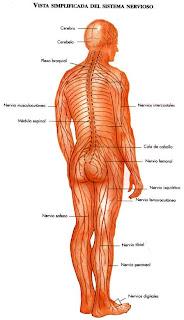 Funciones del sistema endocrino y sus partes