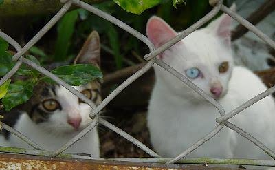Cat odd eye picture