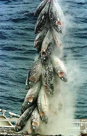 El pez bbr en la pesca de trofeo