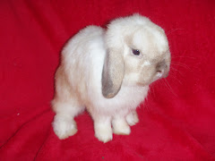 Holland Lop Name GIGOLO