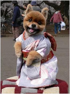 funny dog wear kimono