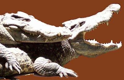 Crocodile IS Monogamy Adherents