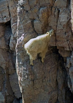 mountain goats in hill