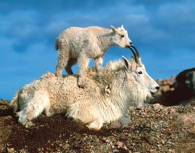 mountain goats picture