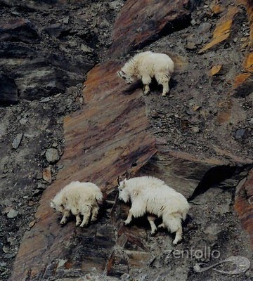 North America mountain goats picture