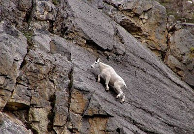 mountain goat foto gallery