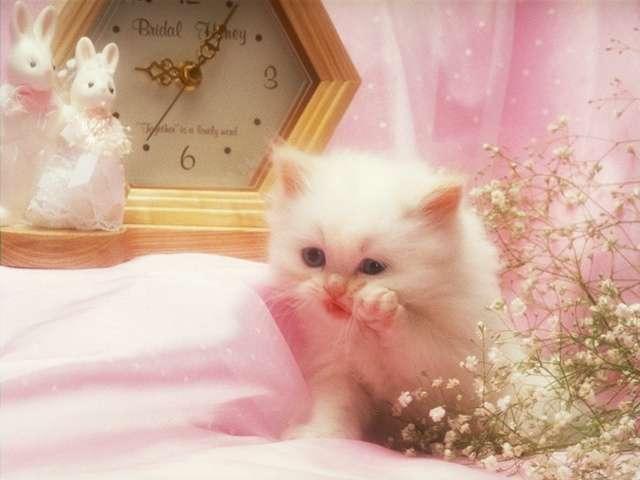 صور قطط شيرازي بيضاء صغيره ، صور قطط شيرازي صغيره