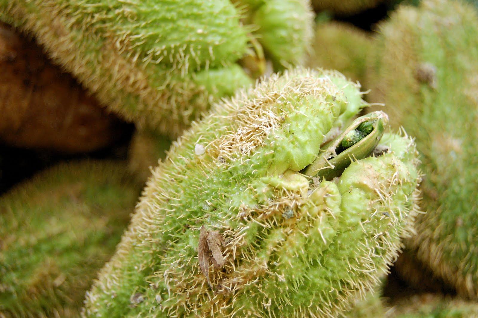 Garden adventures chayote sechium edule - Spiny Chayote Www Imgkid Com The Image Kid Has It