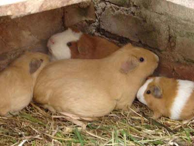 Animales del per el cuy - El taller de lo antiguo ...