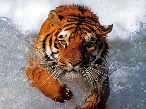 Poza cu animale - Tigru