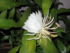 Bunga : Cangkok Wijaya Kesuma