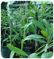 Khat plant boosts sperm power