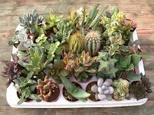 che siano nelle teiere o in vasetti colorati quest'anno inizio la collezione di piante grasse