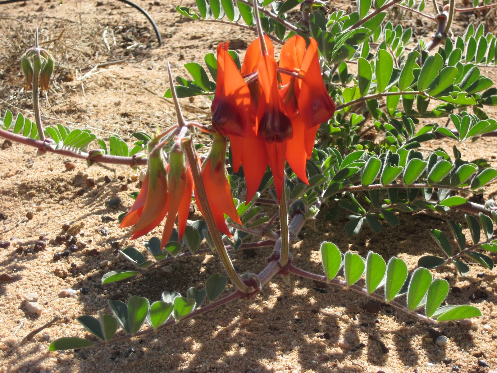 Marcelle nankervis aussie native sturts desert pea on a recent trip to alice springs i was happily reminded of this unusual native annual or short lived perennial as it was mass planted in the garden beds mightylinksfo