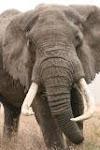 Lone bull elephant in Ngorogoro Crater