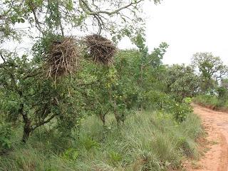 Ninhos do joão-de-pau (Phacellodomus rufifrons) em Delfinópolis, MG