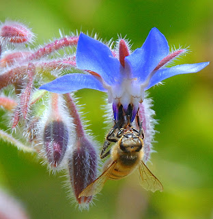 Borage is a popular edible flower, and beloved by bees.